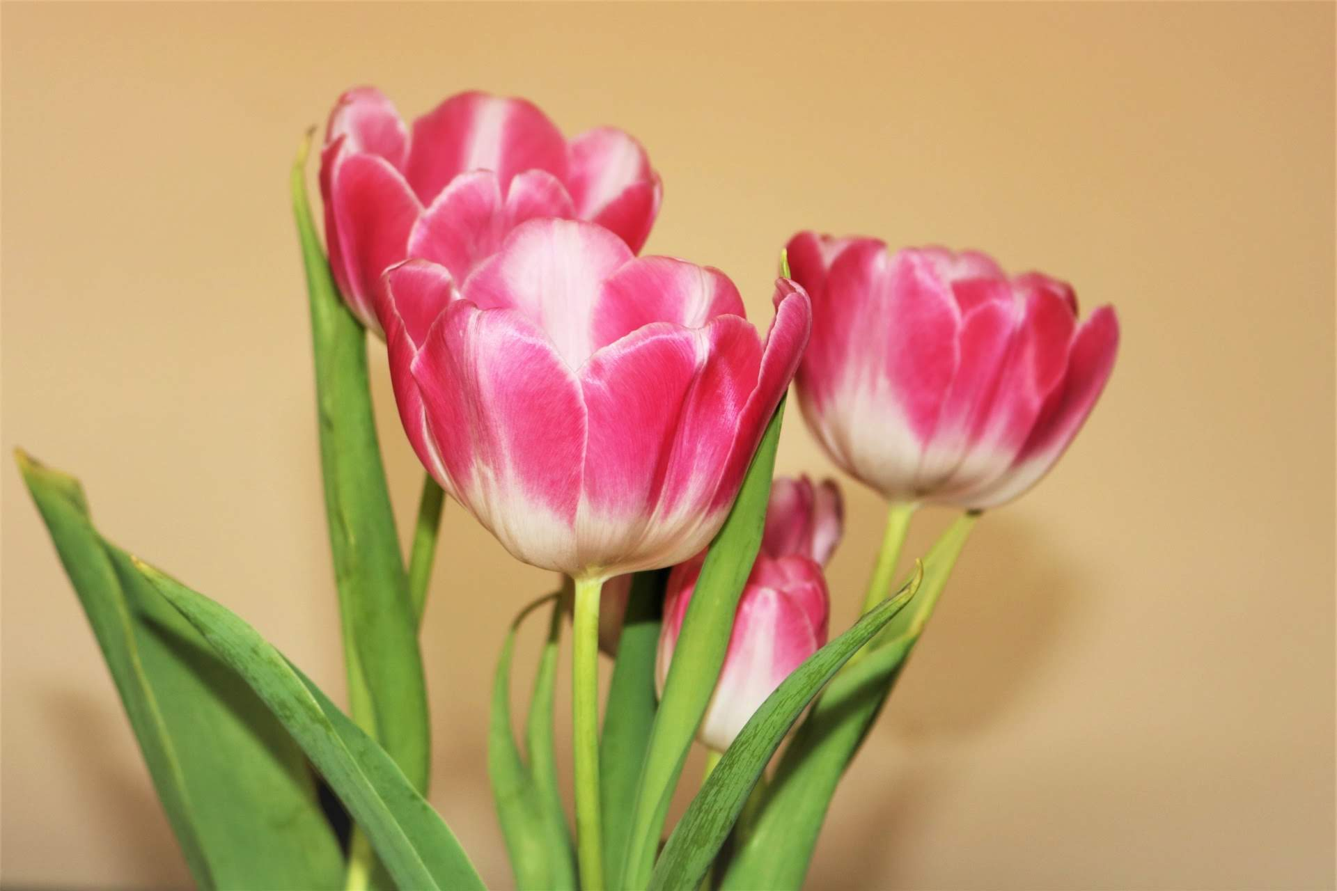 pink-and-white-tulips-on-yellow